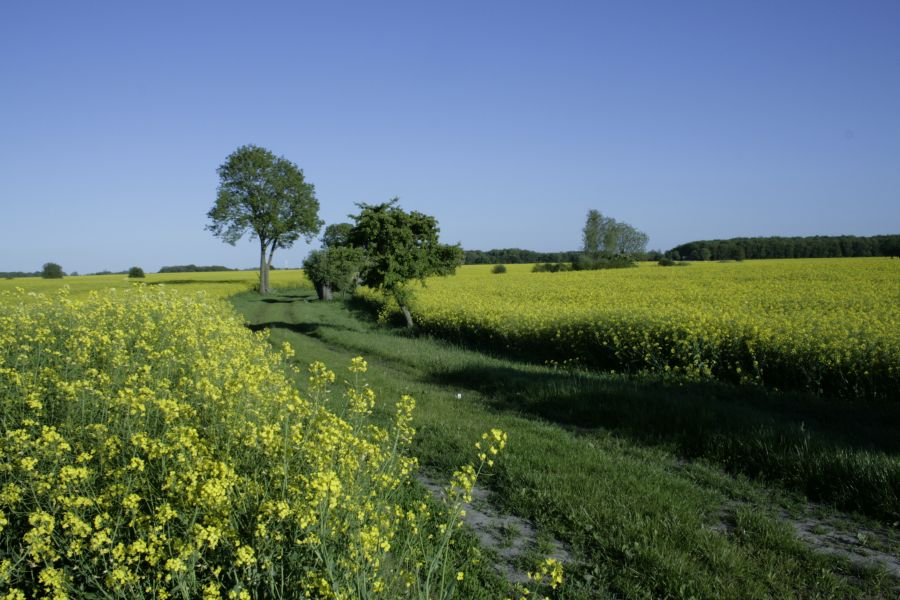 Landschaftsbild mit Rapsfeld und einem Weg