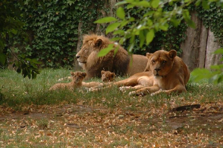 Löwen mit Jungtieren im Zoo Stralsund